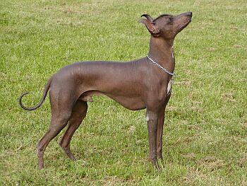 perro-chimoc